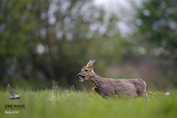 Reh,Ricke,Roe Deer doe,Capreolus capreolus 0167