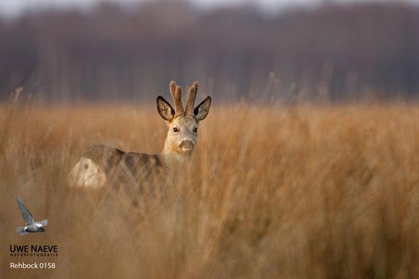 Rehbock Capreolus capreolus Roe Deer buck 0158