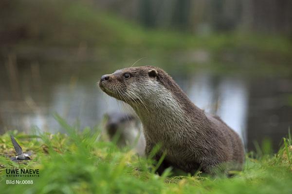 Fischotter,Otter,Lutra lutra 0088