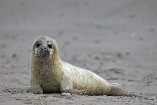 Kegelrobbe,Grey Seal,Halichoerus grypus 0159
