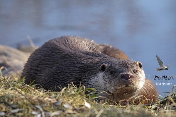 Fischotter,Otter,Lutra lutra