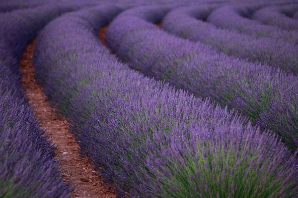 Lavendel,Lavender,Lavendula angustifolia 0051