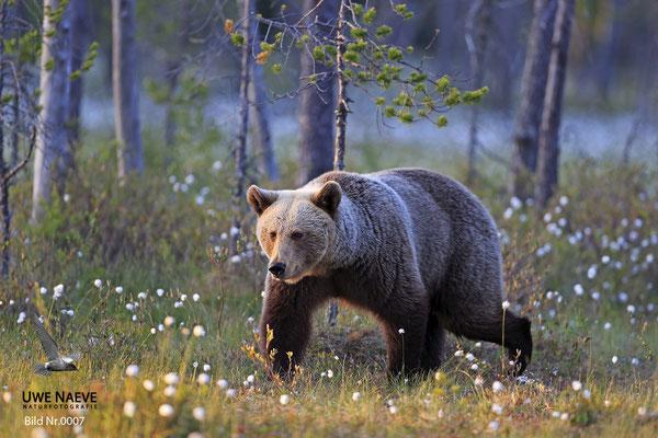 Braunbaer Ursus arctos brown bear0007