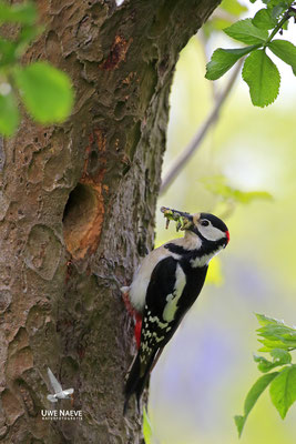 Buntspecht,Great Spotted Woodpecker,Dendrocopos mayor 0051