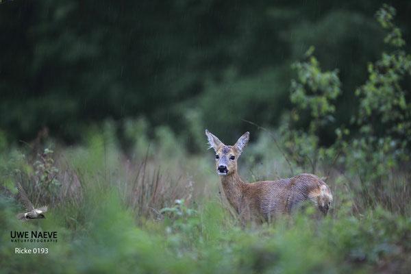 Reh,Ricke,Roe Deer doe,Capreolus capreolus 0193