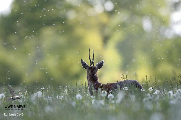Rehbock Capreolus capreolus Roe Deer buck 0149
