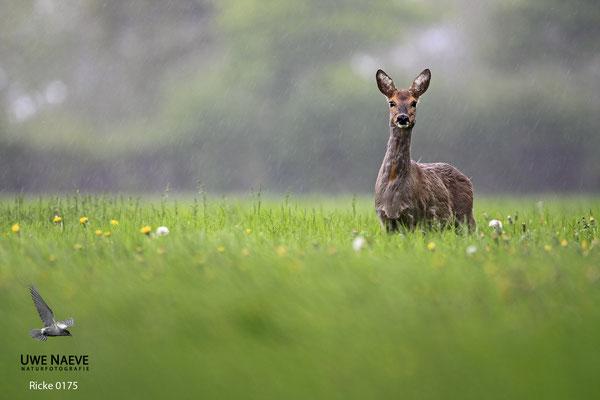 Reh,Ricke,Roe Deer doe,Capreolus capreolus 0175