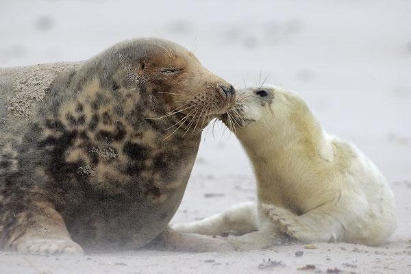 Kegelrobbe,Grey Seal,Halichoerus grypus 0148