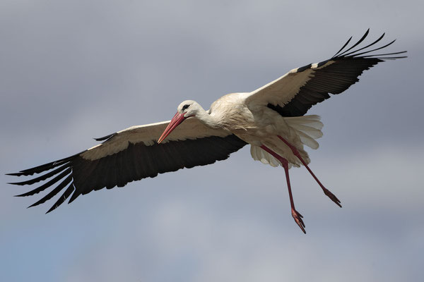 Weissstorch,White Stork,Ciconia ciconia 0021