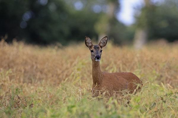 Reh,Ricke,Roe Deer doe,Capreolus capreolus 0225