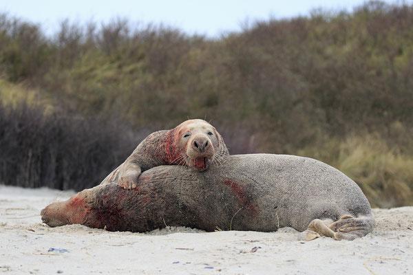 Kegelrobbe,Grey Seal,Halichoerus grypus 0114