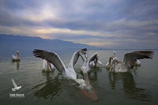 Krauskopfpelikan,Dalmatien pelican,pelecanus crispus 0008
