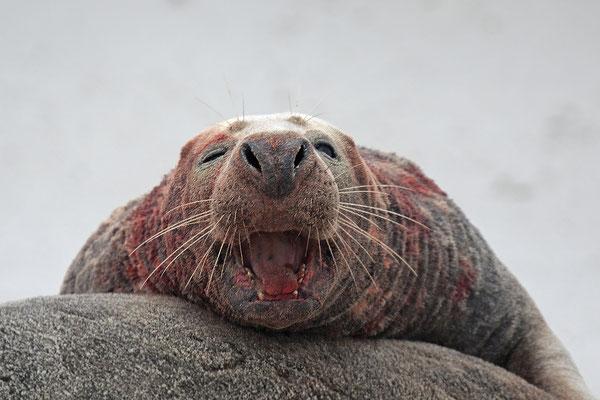 Kegelrobbe,Grey Seal,Halichoerus grypus 0107