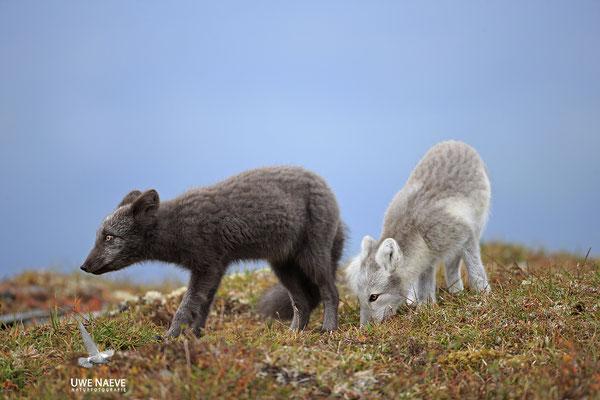 Polarfuchs,Eisfuchs,Arctic Foxes,Alopex lagopus,Vulpex lagopus 0106