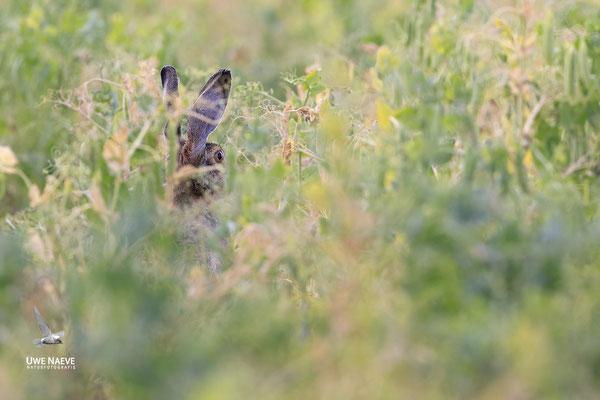 Feldhase Brown Hare Lepus europanus 0062