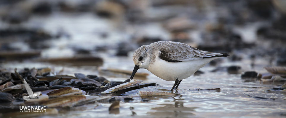 Sanderling Calidris alba Sanderling 0009