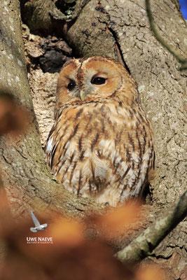 Waldkauz,Strix aluco,Tawny Owl 0032