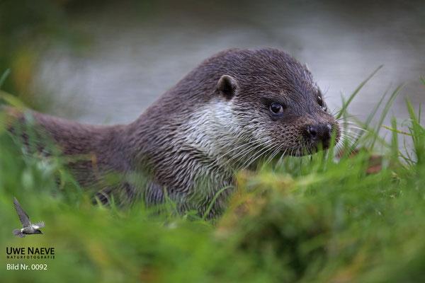 Fischotter,Otter,Lutra lutra 0092
