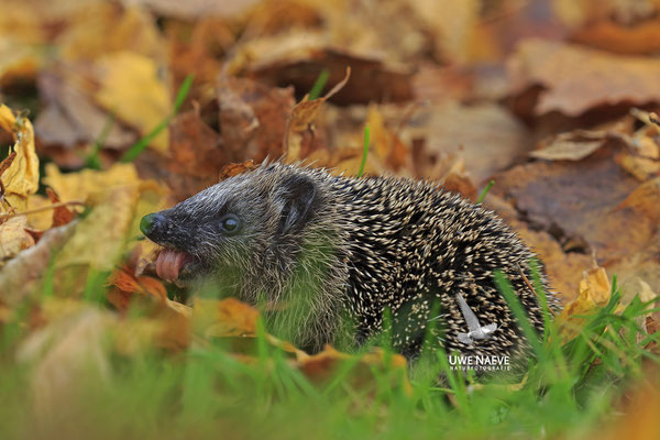 Europaeischer Igel,European Hedgehog,Erinaceus europeas 0035