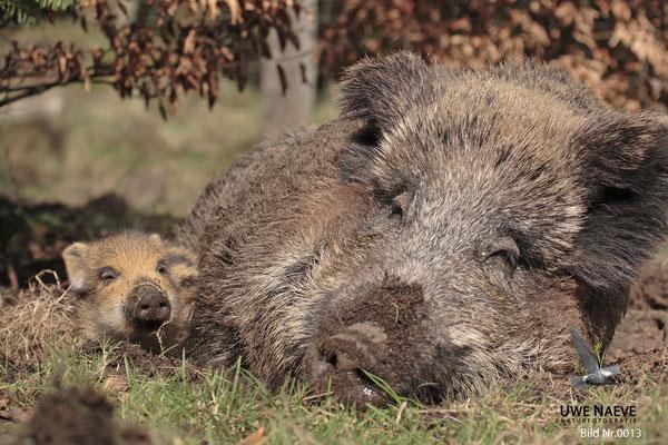 Wildschwein Bache mit Frischling,Wild Boar Sow with Piglets,Sus scrofa 0013