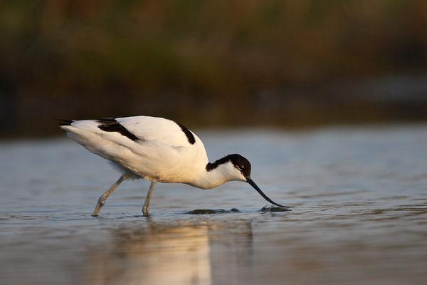 Säbelschnäbler,Recurvirostra avosetta,Avocet 4