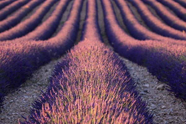 Lavendel,Lavender,Lavendula angustifolia 0052