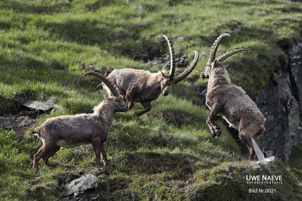 Steinbock Capra ibex Capri corn 0021