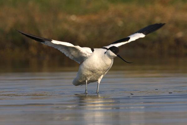 Säbelschnäbler,Recurvirostra avosetta,Avocet 27