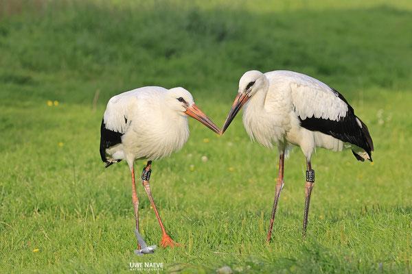 Weissstorch,Weisstorch,White Stork,Ciconia ciconia 0137