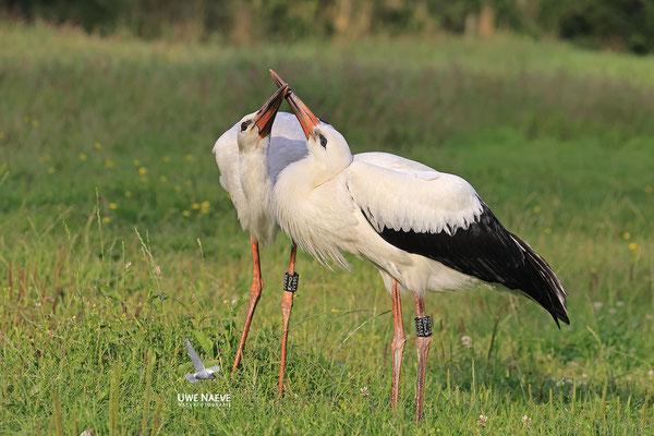 Weissstorch,Weisstorch,White Stork,Ciconia ciconia 0136