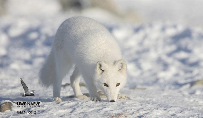 Polarfuchs,Eisfuchs,Arctic Foxes,Alopex lagopus,Vulpex lagopus 0012