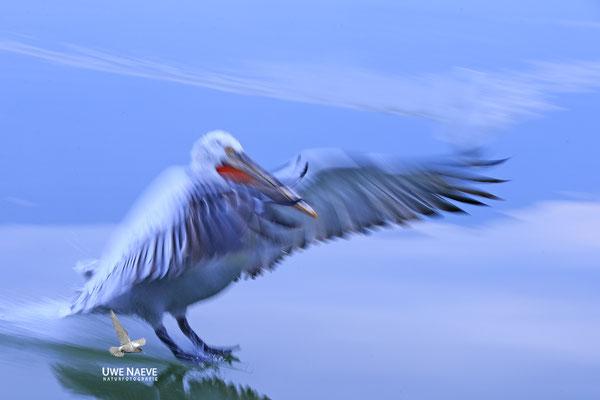 Krauskopfpelikan,Dalmatien pelican,pelecanus crispus 0020