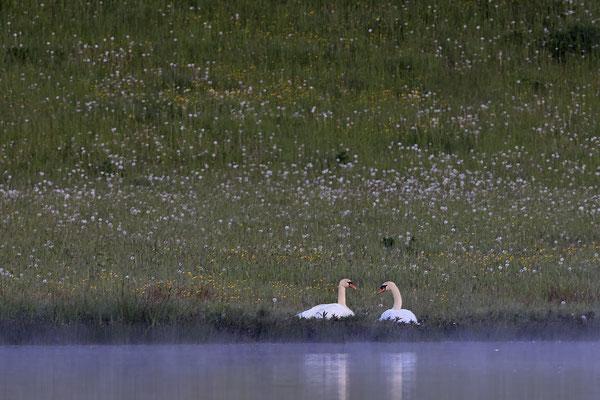 Hoeckerschwan,Mute Swan,Cygnus olor 0067