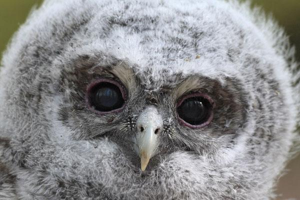 Waldkauz,Strix aluco,Tawny Owl 0017