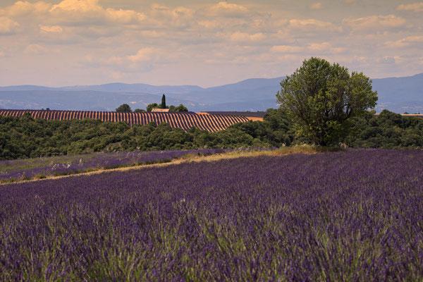 Lavendel,Lavender,Lavendula angustifolia 0055