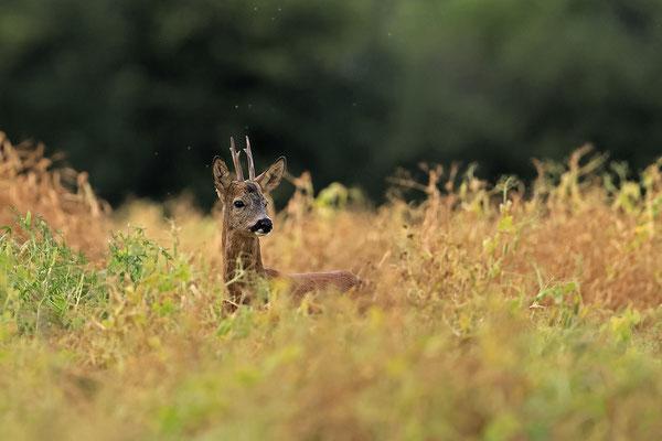 Rehbock,Capreolus capreolus,Roe Deer buck 0257