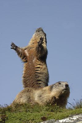 Alpenmurmeltier,Marmota,Marmot 0041