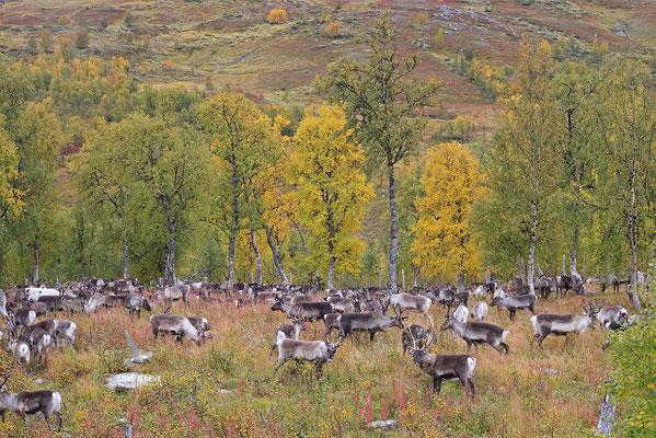 Ren Rentier Rangifer tarandus Reindeer 0142
