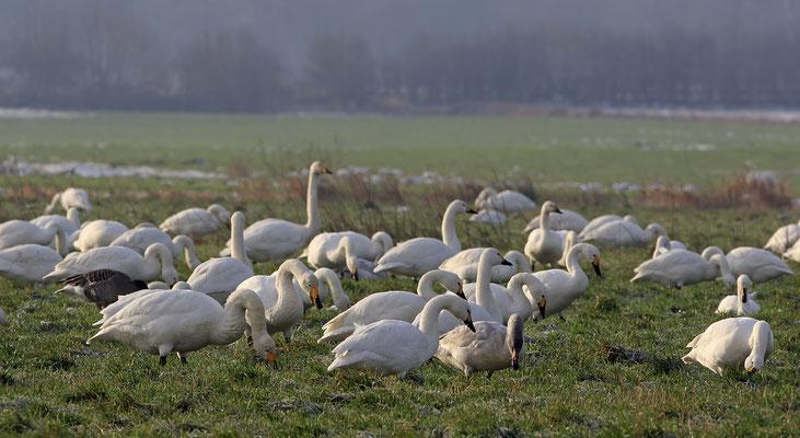 Singschwan,Whooper Swan,Cygnus cygnus 0040