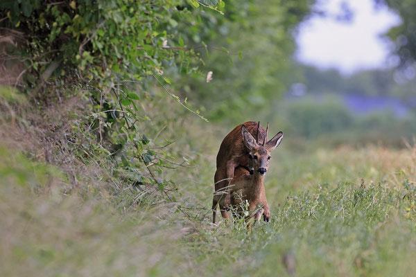 Rehbock,Capreolus capreolus,Roe Deer buck 0263