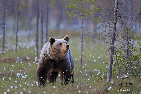 Braunbaer Ursus arctos brown bear 0020
