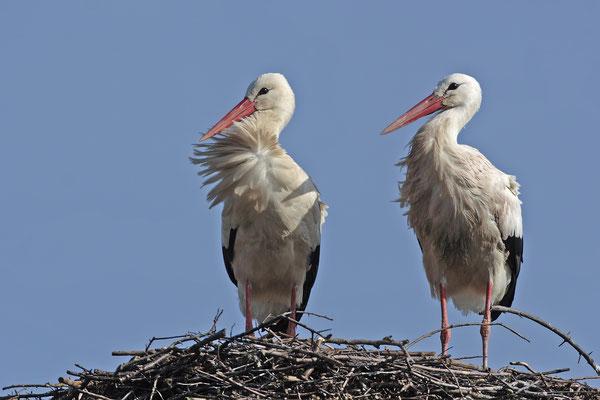 Weissstoerche,White Stork,Ciconia ciconia 0039