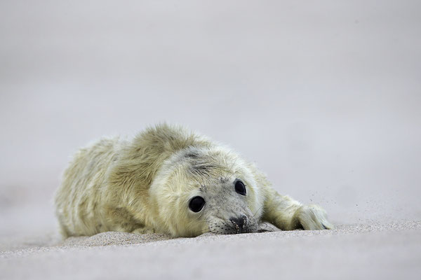 Kegelrobbe,Grey Seal,Halichoerus grypus 0176