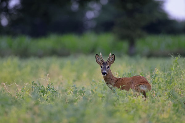 Rehbock,Capreolus capreolus,Roe Deer buck 0255