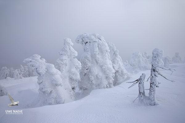 Harz, Brocken,Fichtenwald im Winter 8909