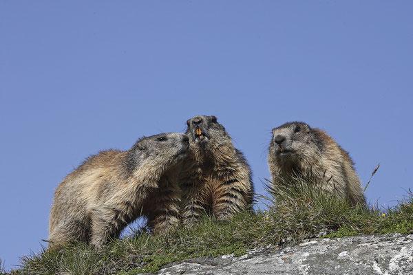 Alpenmurmeltier,Marmota,Marmot 0037