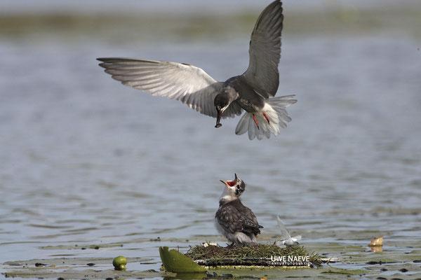Trauerseeschwalbe,Black Tern,Chlidonias niger 0026