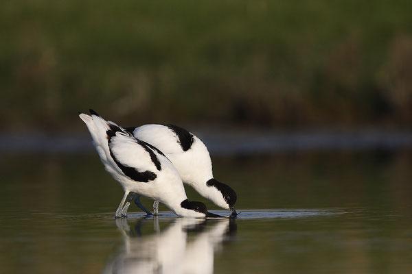 Säbelschnäbler,Recurvirostra avosetta,Avocet 32