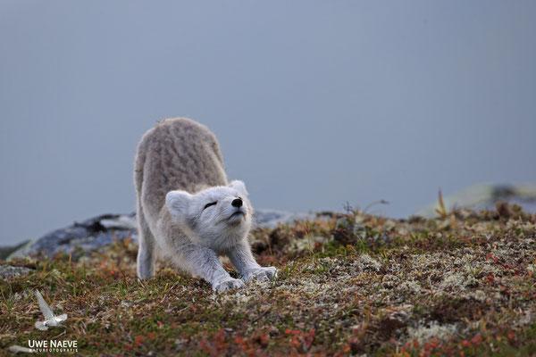 Polarfuchs,Eisfuchs,Arctic Foxes,Alopex lagopus,Vulpex lagopus 0083