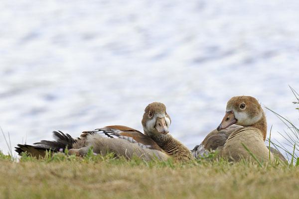 Nilgans,Alopochen aegyptiaca,Egyptian Goose 0001